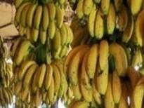 اللقيس يبشر تصدير الموز الى سوريا